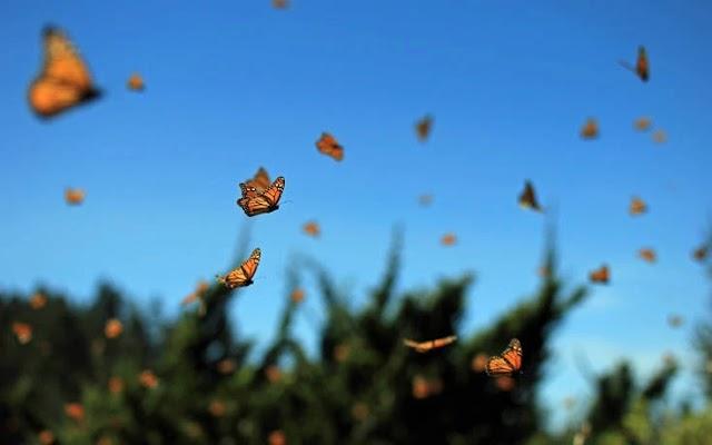 Οι πεταλούδες μειώθηκαν κατά 76% τα τελευταία 45 χρόνια – Γιατί ανησυχούν οι επιστήμονες