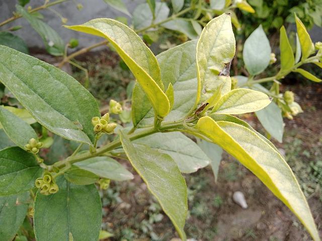 parijat tree benefits