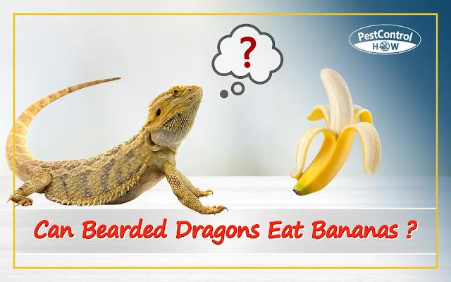 Can-bearded-dragons-eat-bananas