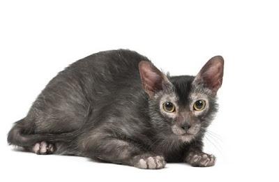 Sejarah Ras Kucing Lykoi