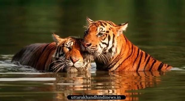 Tigers in Water at Jim Corbett Park