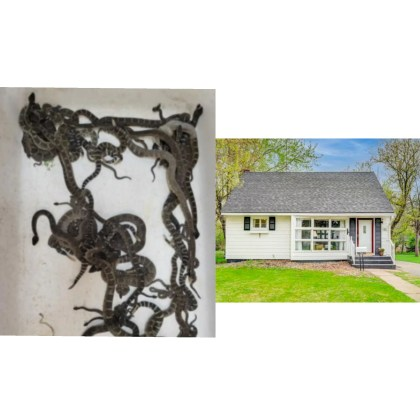 Shocking!! 90 live snakes removed from a woman's house (Photo)