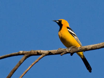 Photo of Hooded Oriole on branch.