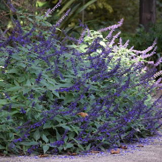 Salvia 'Indigo Spires', una variedad vigorosa con espigas de flores azul índigo que atraen polinizadores