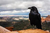 Crow - Photo by Tyler Quiring on Unsplash