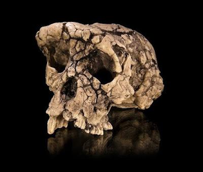 fossil skull of Sahelanthropus tchadensis