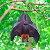 Scientists Discover New Hendra Virus in Bats