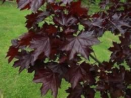 Crimson King Maple Tree Pros & Cons, Growth rate, Problems
