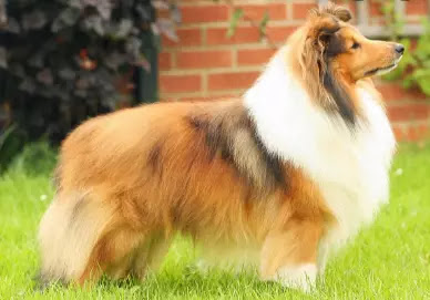 most intelligent animals most intelligent dog smartest dog breeds intelligence of dogs classement dog intelligence ranking shepherd dog best guard dogs best dog in the world