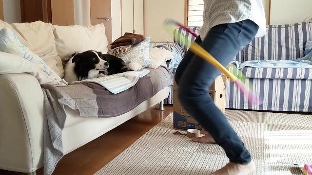 保護犬 ボーダーコリー トーマ アジリティ