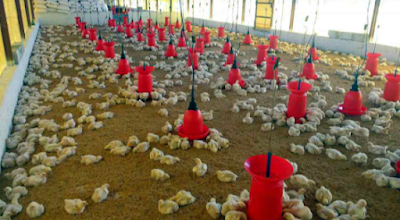 10 Tips for Growing Your Poultry Business