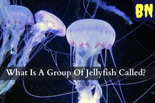 What Is A Group Of Jellyfish Called?