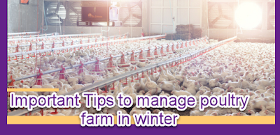 IMPORTANT TIPS TO MANAGE POULTRY FARM IN WINTERS