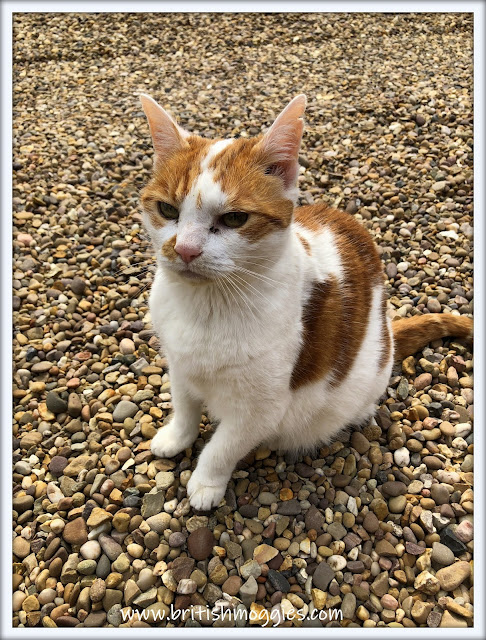 ginger and white sitting on gravel  looking grumpy