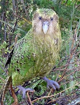 Vẹt Kakapo Trông khá lù đù.
