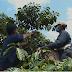 Petani Kopi Ulubelu Kini Lepas dari Jeratan Tengkulak
