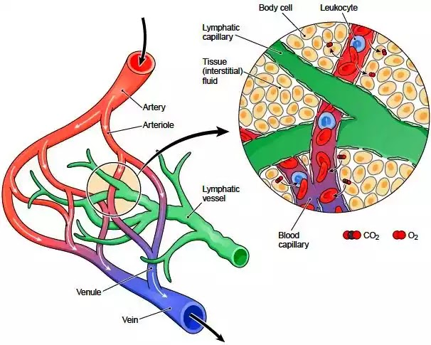 रुधिर और लसीका में अंतर | difference between blood and lymph- Hindi various info