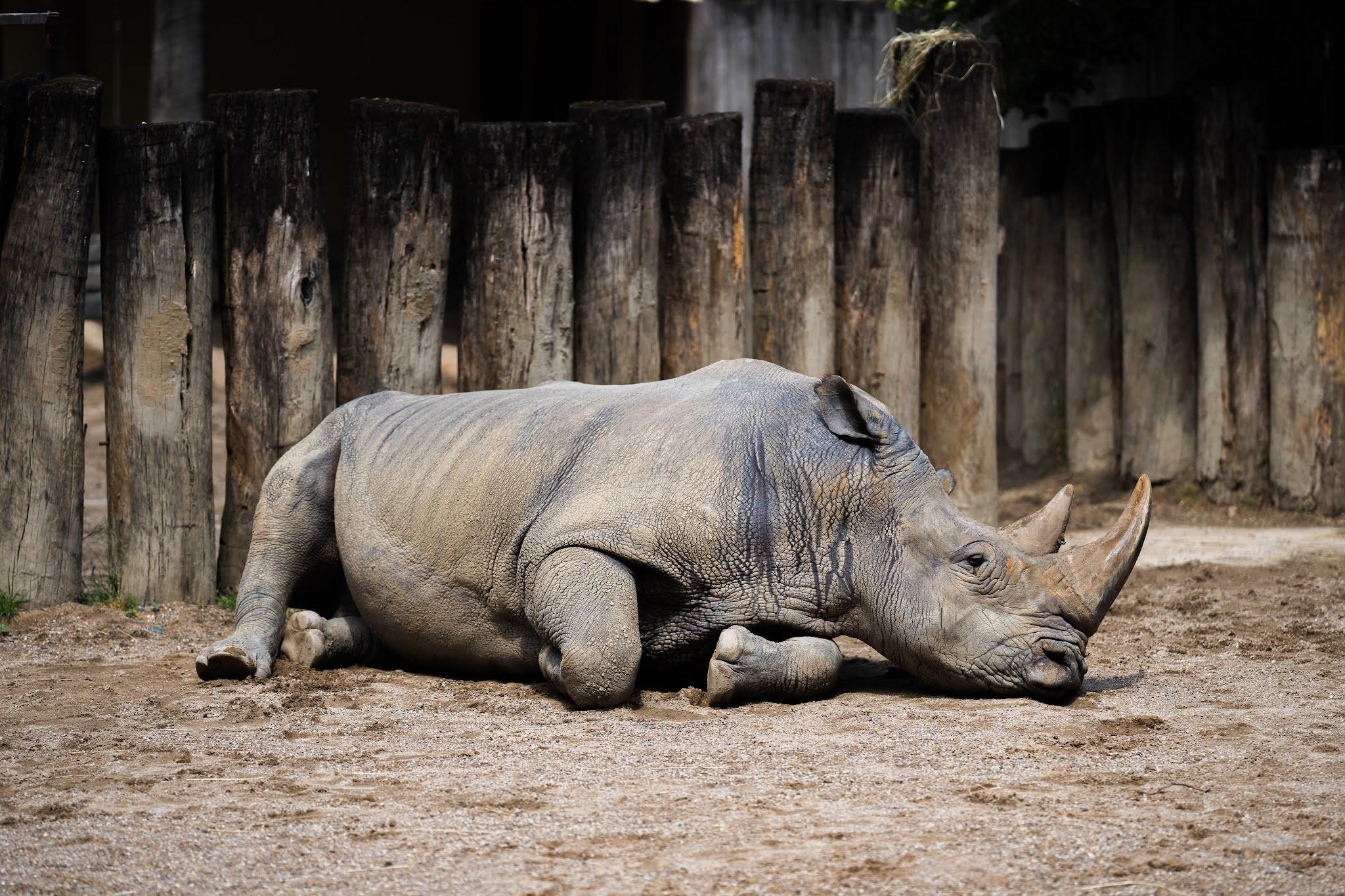 Javan rhinoceros (Badak jawa)