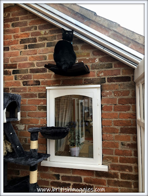 Black Cat sitting on cat shelf high up in conservatory