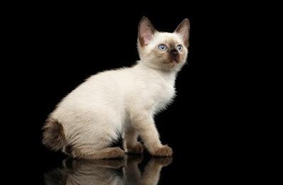 Cara Merawat Ras Kucing Mekong Bobtail