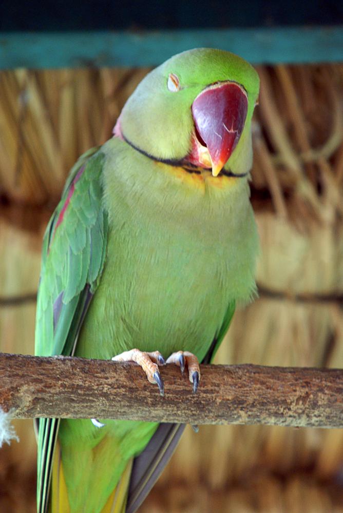 Đây là loại vẹt má xanh