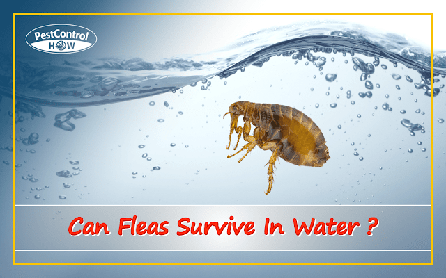 can-fleas-survive-in-water
