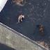 Drones levam comida para cães presos por causa da erupção do vulcão Cumbre Vieja; Assista