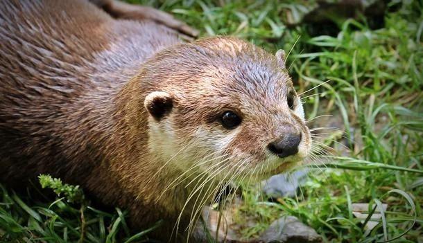 Populações de lontras marinhas diminui em todo o mundo