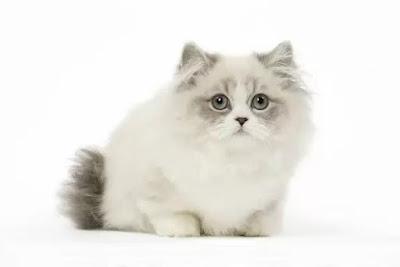 Cara Merawat Ras Kucing Minuet