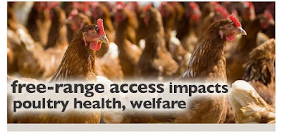How free range access affects Poultry health