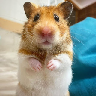 Hamster Meme Pfp