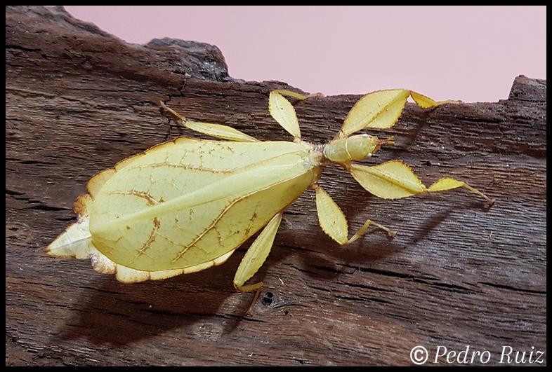 Hembra adulta (color amarillo) de Phyllium philippinicum, 8 cm de longitud