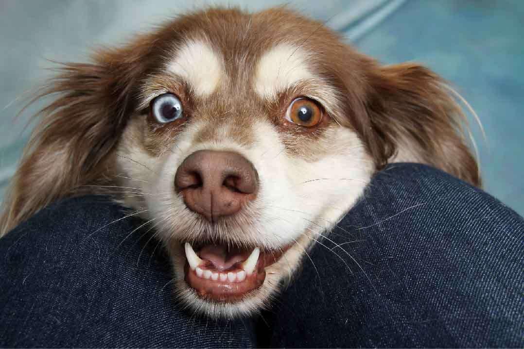 toilettage de chien, chien hypoallergénique, hypoallergène, le chien berger australien, race de chien, animal de compagnie, chien de compagnie, races de chiens, chiot, aussies, berger américain miniature, chien de chasse, animaux de compagnie, animaux domestiques, chien de garde