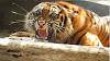 Harimau Terkam Warga Merangin, Korban Dikabarkan Tewas