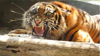 harimau sumatera terkam warga merangin, jambi