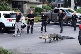 Alligator caught trying to break into community pool in North Carolina