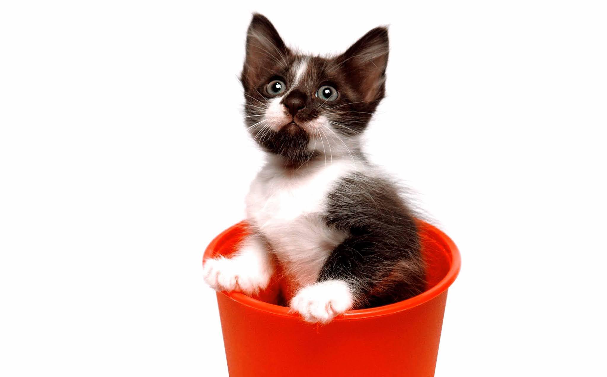21 Best of wallpaper image kitten, cat, animal, cute, brown wallpaper, background HD 5K 8K for computer desktop