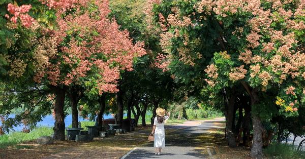 彰化埔鹽東螺溪自行車道石碑橋旁台灣欒樹呈現黃綠紅,散步好去處