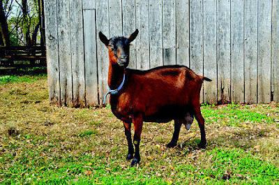 Oberhasli goat breed