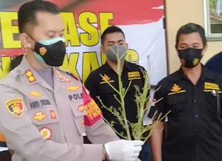Polres Enrekang Lansir Operasi Antik (Anti Narkotik) Dan Jerat Pemilik Ganja