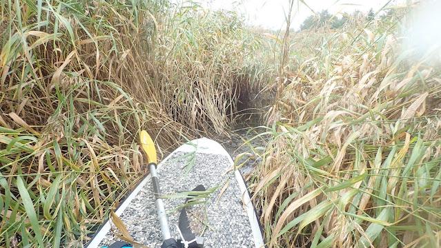 SUP-lauta keskellä järviruovikkoa