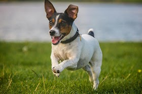 Why Does My Jack Russell Follow Me Everywhere? [Here Is Why]