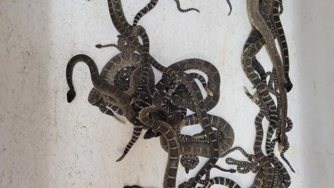 Mais de 80 cobras são encontradas morando embaixo de uma casa nos EUA