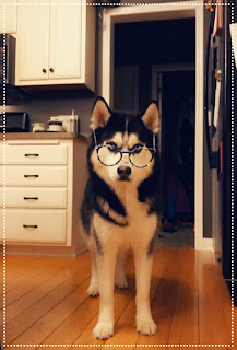 Ullr the husky pup standing in a kitchen wearing filtered eye glasses as he gives the camera a stern look.