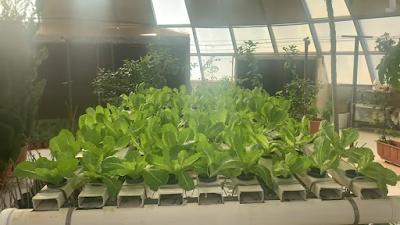 نمو نبات الخس بعد مرور 45 يوم