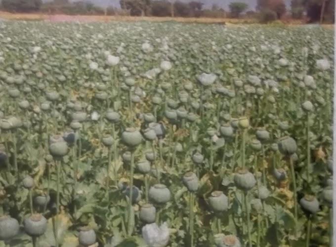 अफीम नीति 2021 घोषित: 4.2 फिसदी औसत मार्फिन देने वाले किसानों को मिलेगा पट्टा