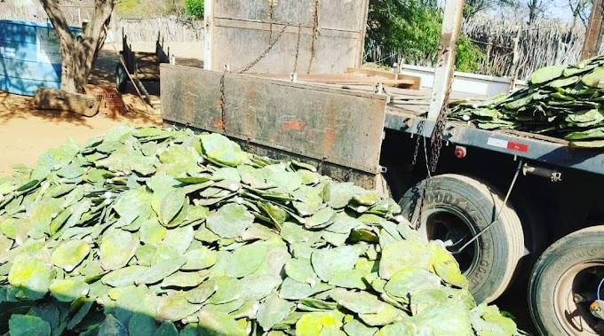 Governo do Estado por meio da SEDAP entregou 40 mil raquetes de palma a 2 produtores do município, entenda