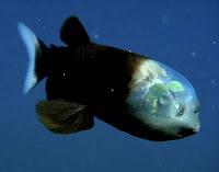 Mistério do peixe de cabeça transparente é desvendado por pesquisadores