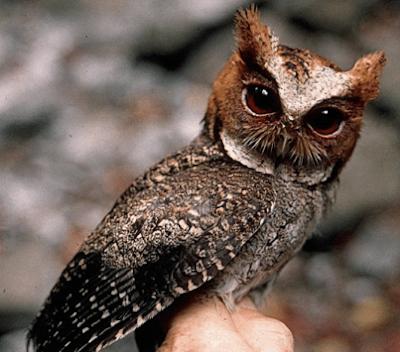 Cara Memelihara Burung Hantu Celepuk Dengan Mudah