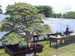 Bonsai Ini Raih Juara Kelas Plus Juara Umum Dalam Kontes Nasional di Dompu
